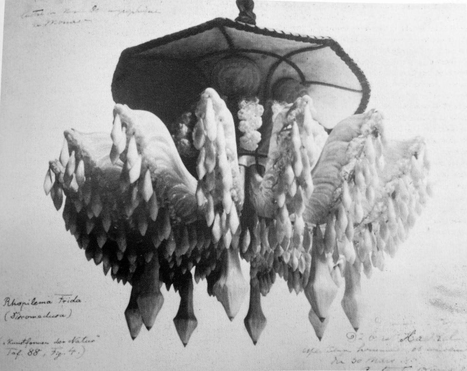 A trip to the sea ernst haeckel and the man of war at home afield glass chandelier from the oceanographic museum in monaco modelled after an ernst haeckel drawing found arubaitofo Images